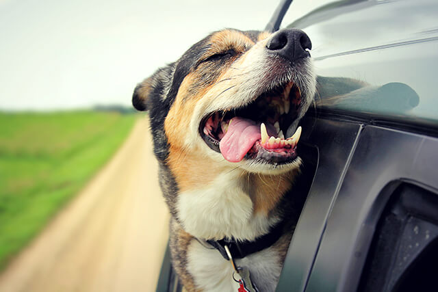 photo of A happy German Shepherd mix breed dog is smiling with his tounge hanging out and his eyes closed as he sticks his head out the family car window while drving down the road