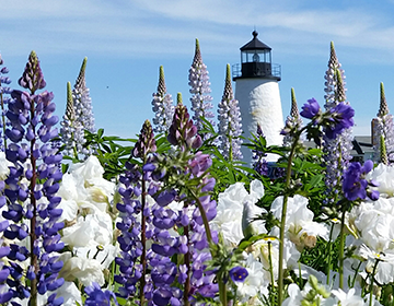 LIGHTHOUSE WITH LUPINS